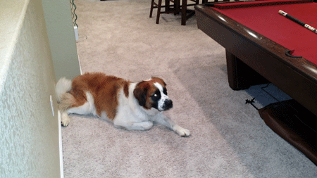 Oscar the St. Bernard - Destroyer of Pool Table Cloth